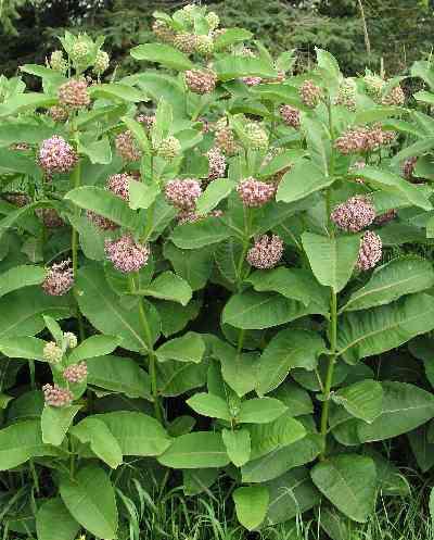 Milkweed (Ascelepias curassavica)