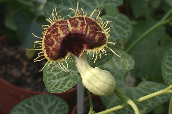 Pipevine (Aristolochia fimbriata)