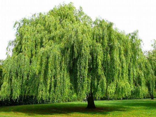 Weeping Willow (Salix Babylonica)